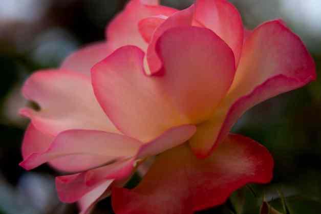 Rose tea 6 low res
