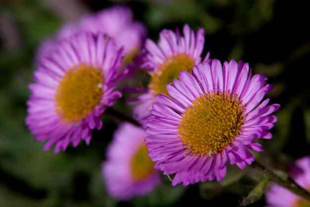Chrysanthemums pink low res