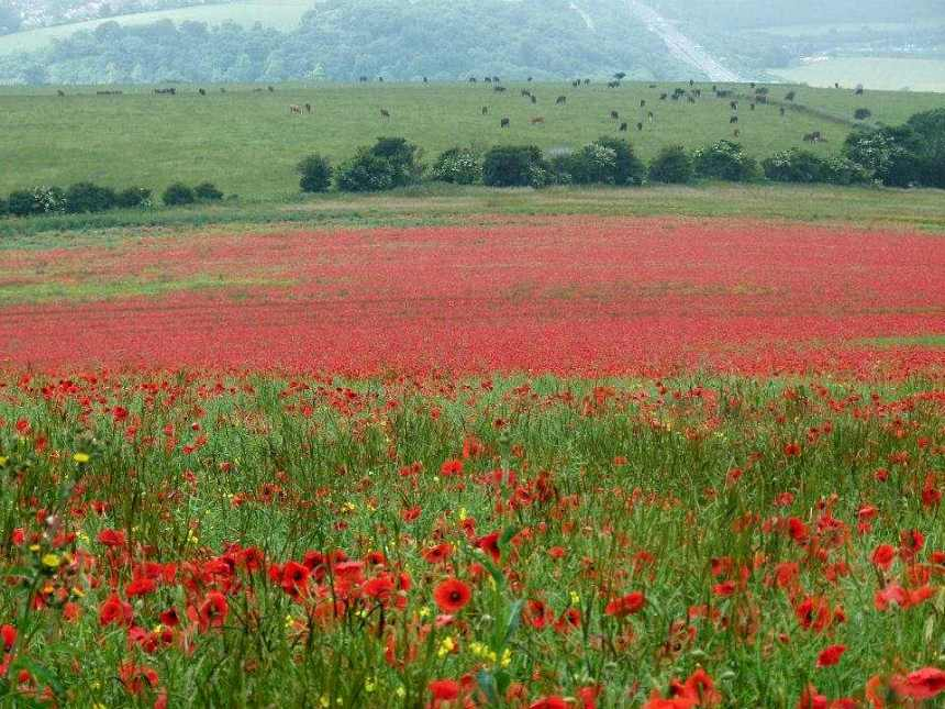 Poppy field low res