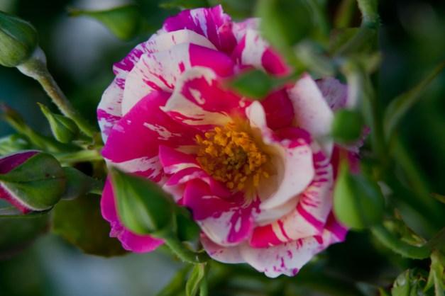 Rose vari