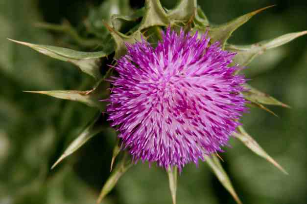 Thistle low res