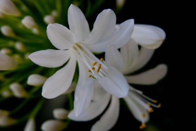Agapanthus white 4