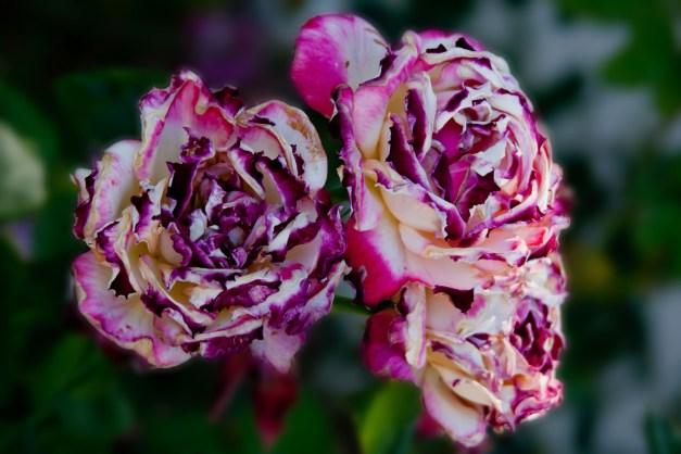 Rose burnt 7
