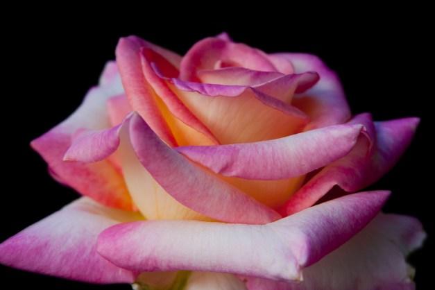 Rose vari on B