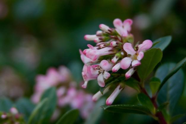 Escallonia pink 8