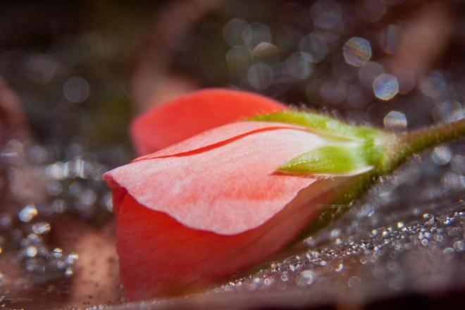 Geranium pink web