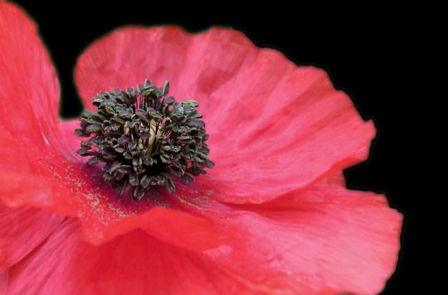Poppy red open