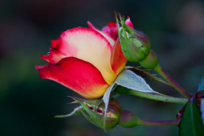 Rose and buds 2