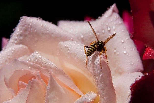 Rose wasp