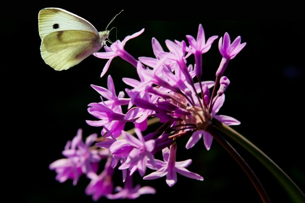 Societ Garlic butterfly