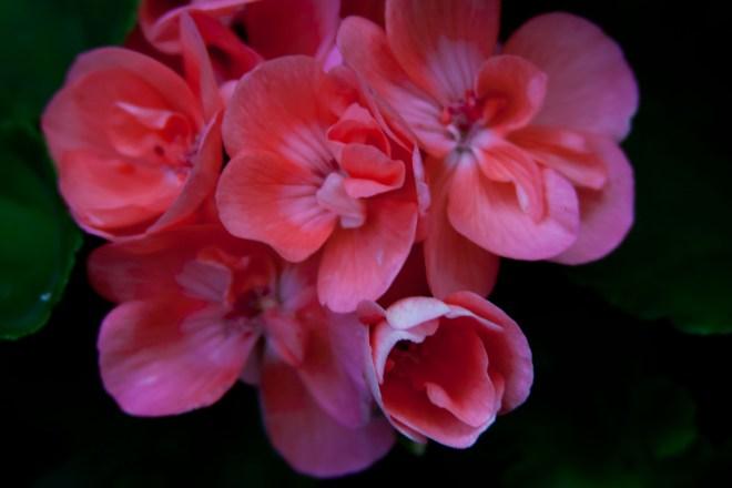 Geraniums pink 3