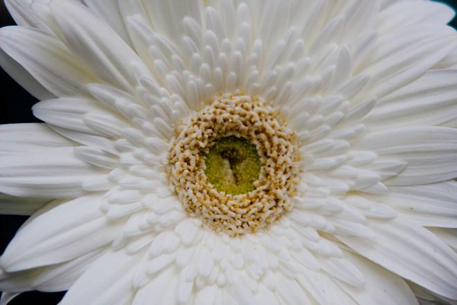 Gerbera white centre 2