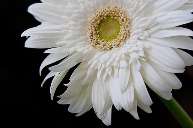 Gerbera white