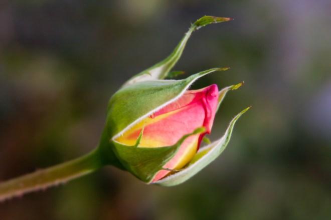 Rosebud yellow red
