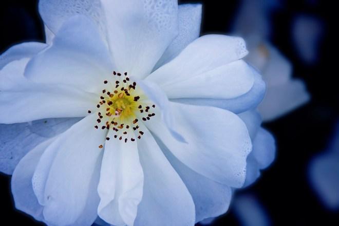 Rose white blue tone