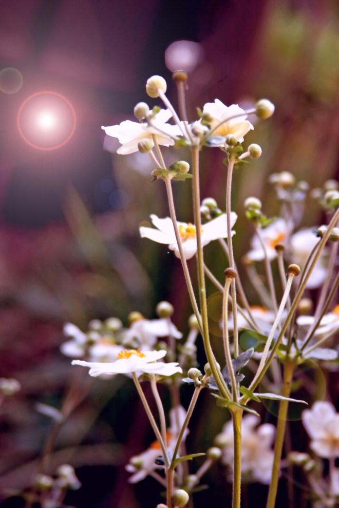Anemones stalks wishful