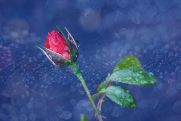 Rosebud on blue rain