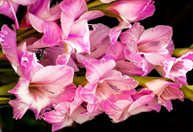 Gladioli pink bunch_MG_2731