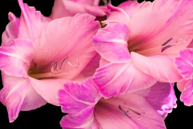 Gladioli pink_MG_2725