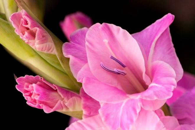 Gladioli pink_MG_2728
