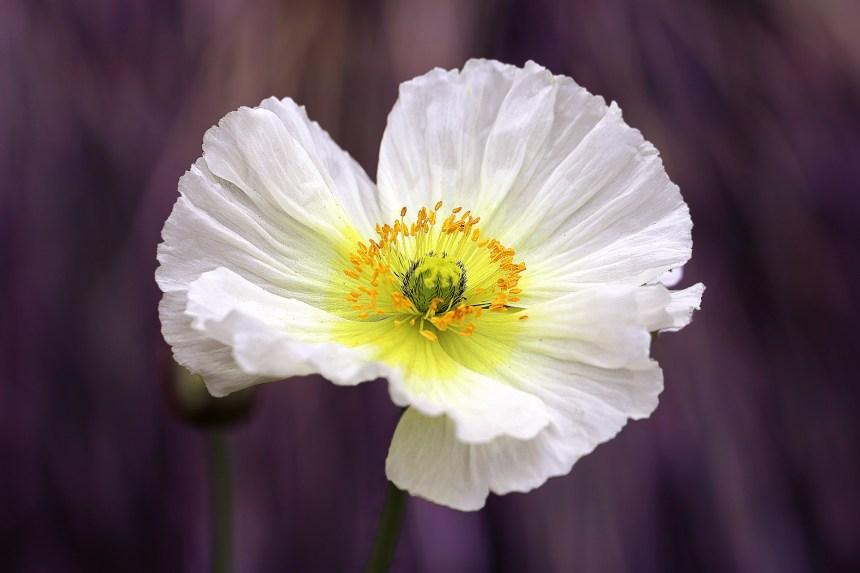 White Poppy on purple