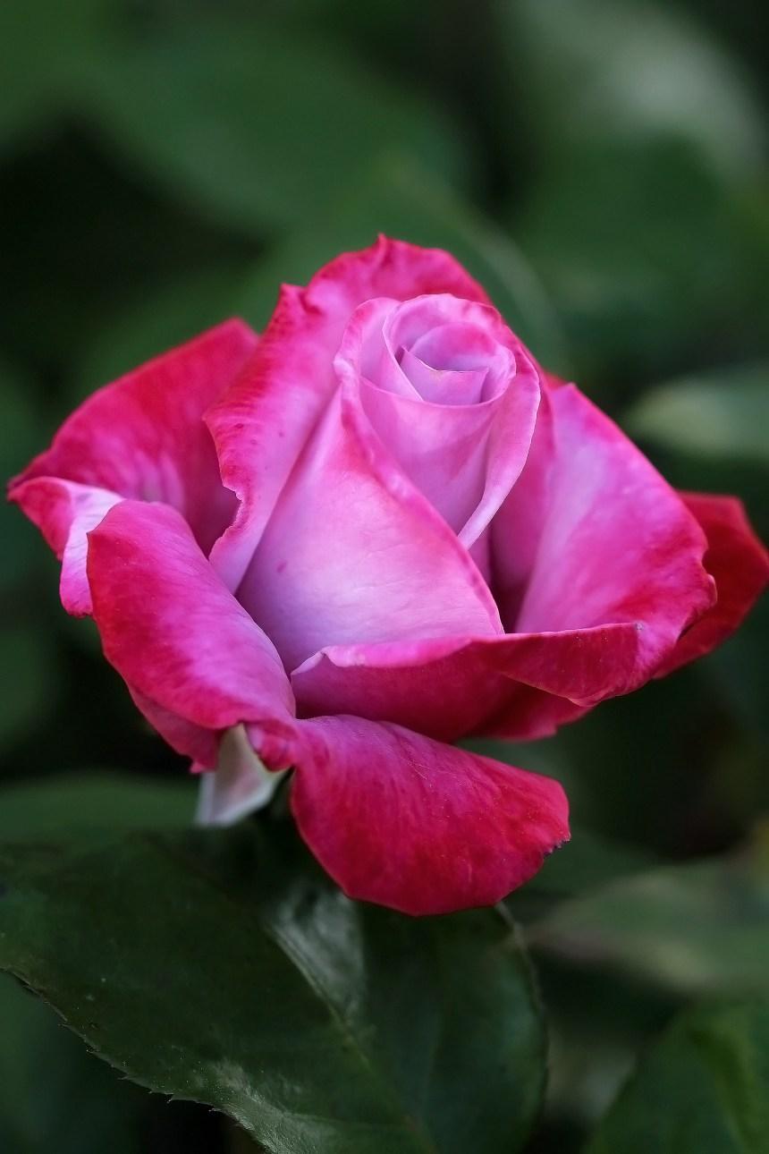 Purple red rose