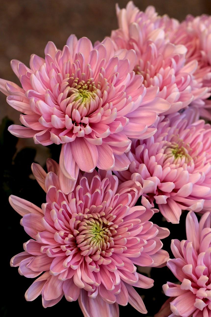 Chrysanthemum pink bunch 2