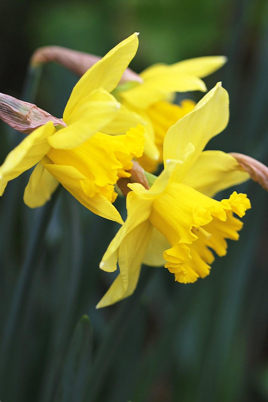 daffodil-time