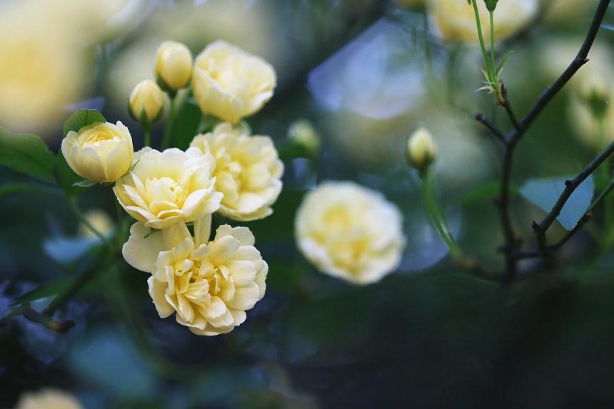 Roses breeze mini
