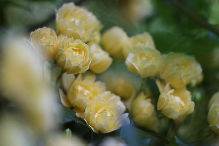 Roses mini cluster blur
