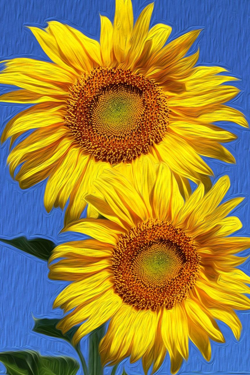 Sunflower pair bright