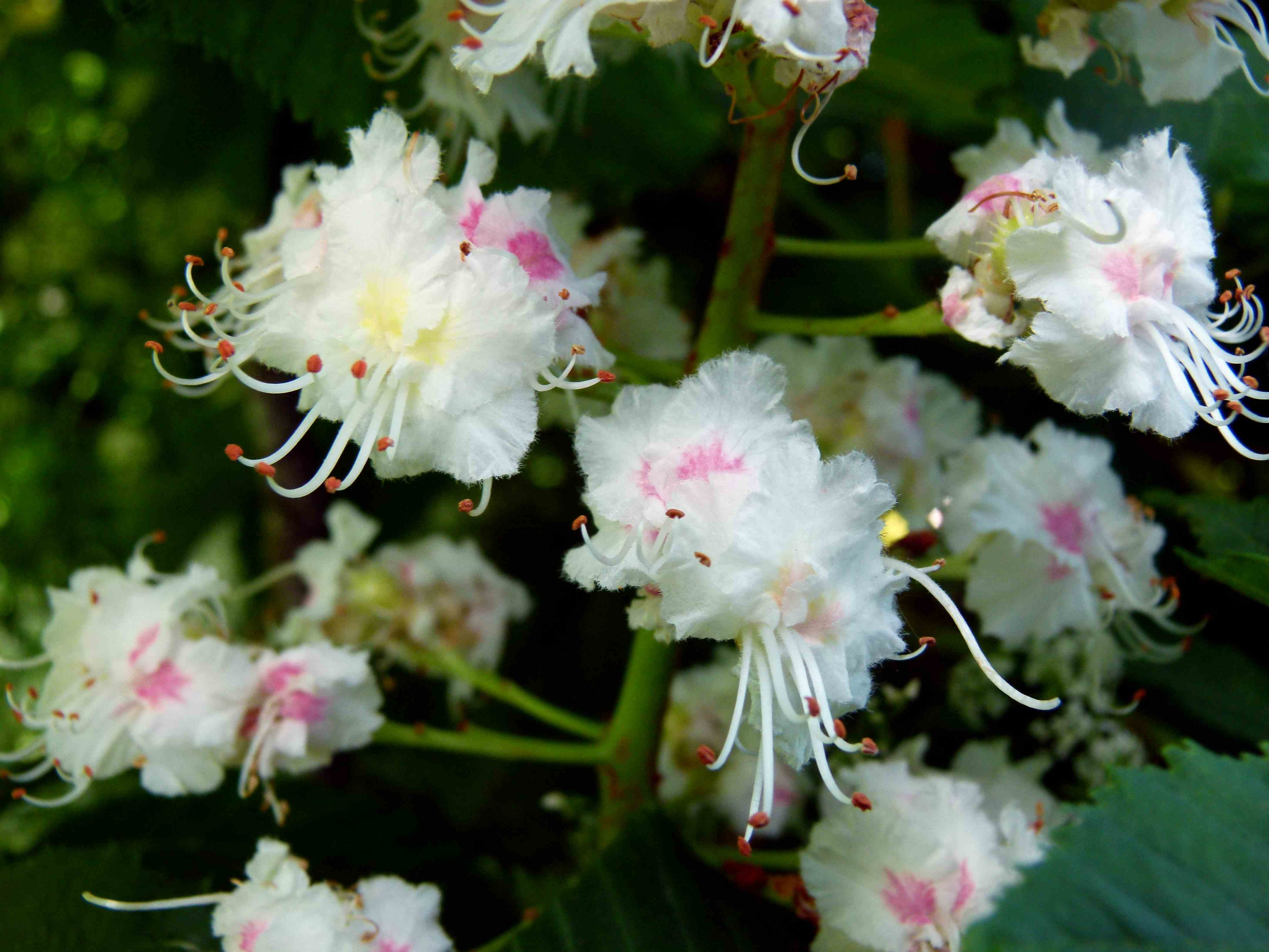 california horse chestnut fables and flora