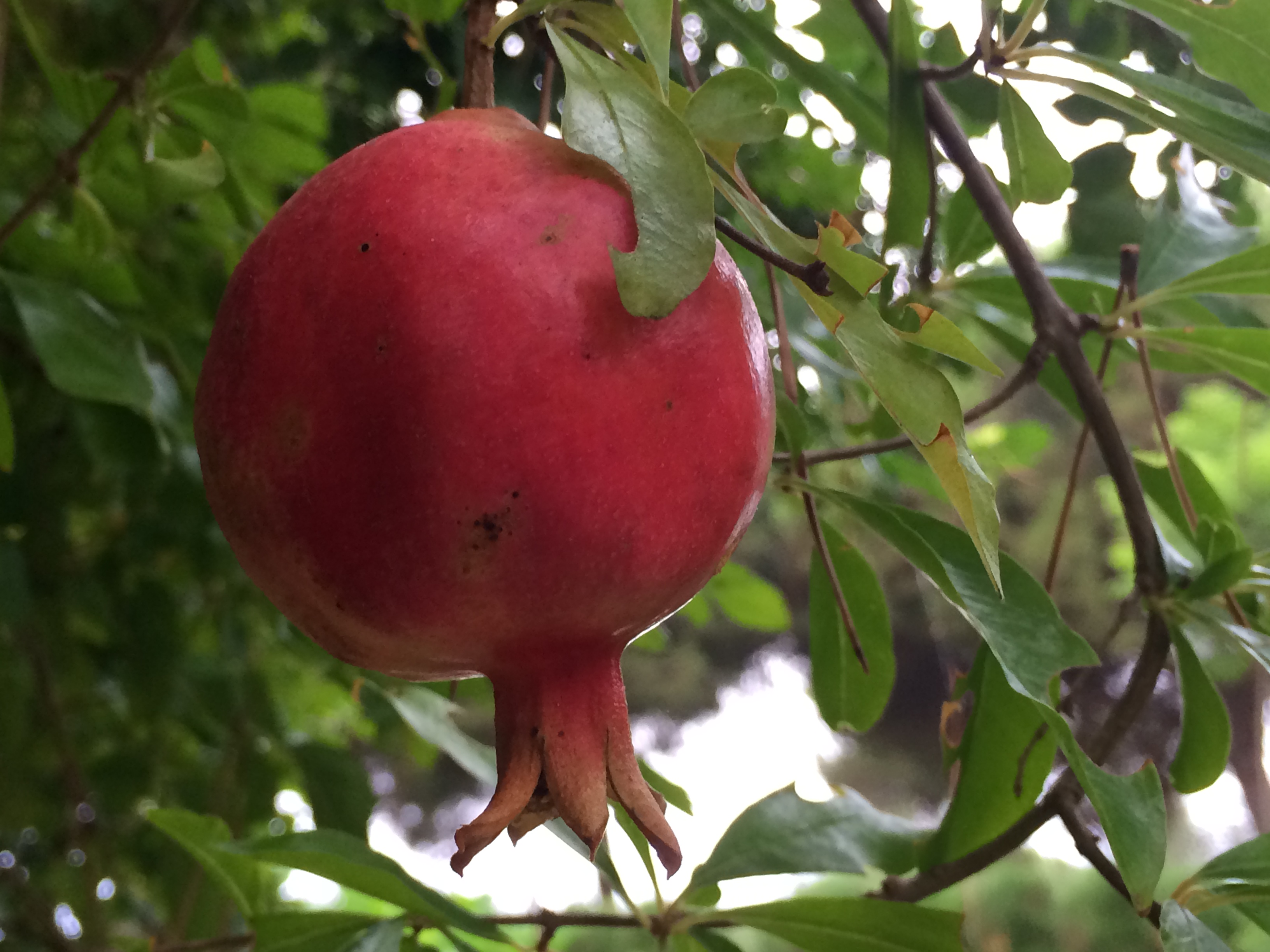 Pomegranate growing in the garden