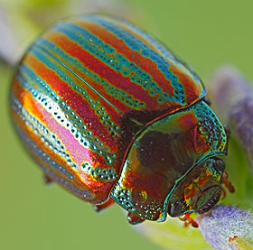 brightly coloured striped beetle