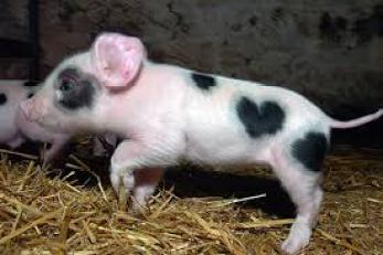 Pig with heart
