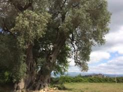 l'Olivone secolare e Montemerano