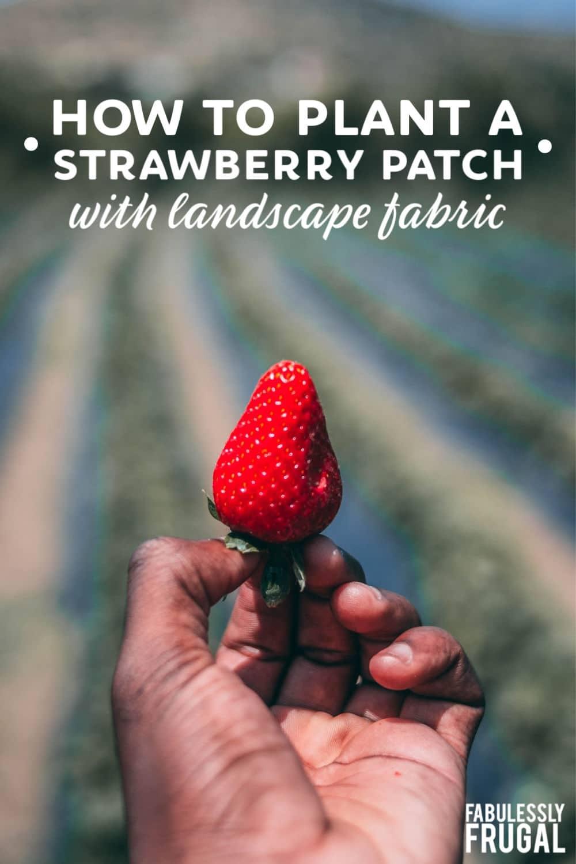Landscape fabric strawberries