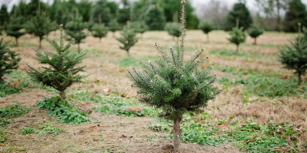nieman's christmas tree farm