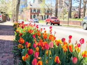 Red and Yellow Tulips in Downtown Lexington, Kentucky