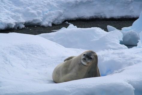 Curious seal - Paradise Bay, Antarctica