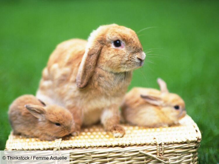 le lapin nain est un vrai compagnon