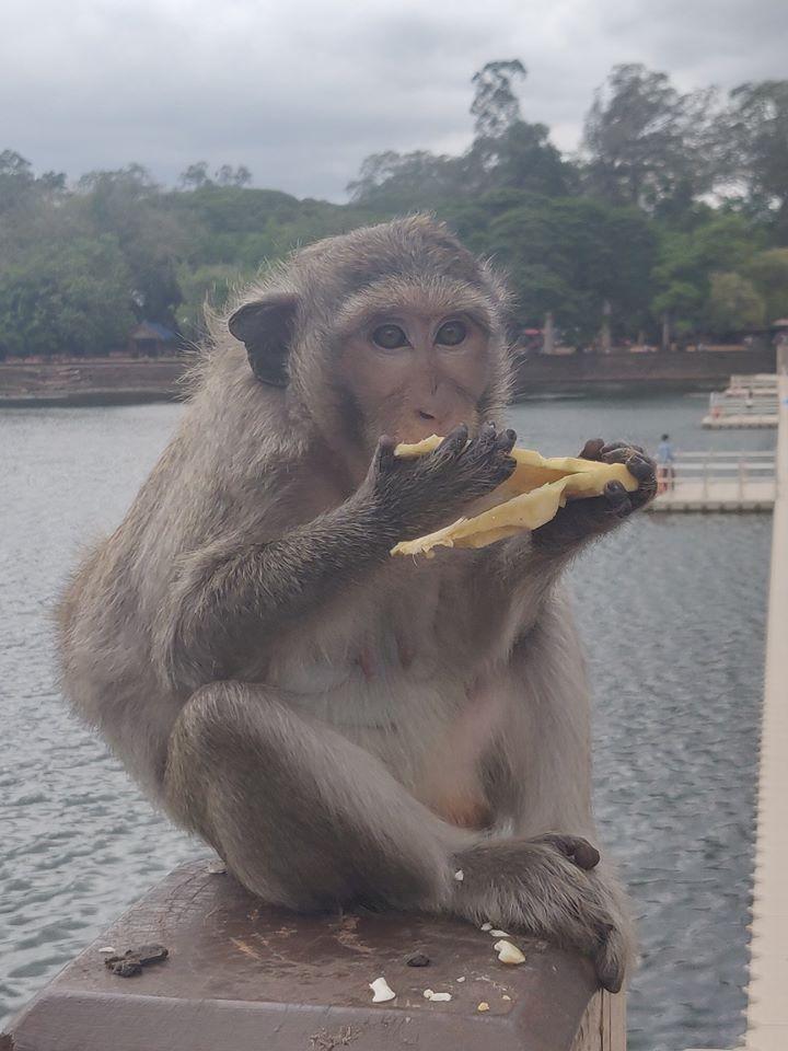 scimmie in cambogia, scimmie asia, scimmie asiatiche, scimmie siem reap, scimmie angkor wat, scimmia cambogia, scimmia asia