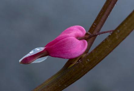 Pink Spring Flower Close-up