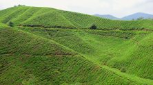 Boh Tea Plantation.