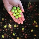 olive harvest. we brine half and do a dry cure for the other half