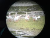 Ding Darling white pelicans