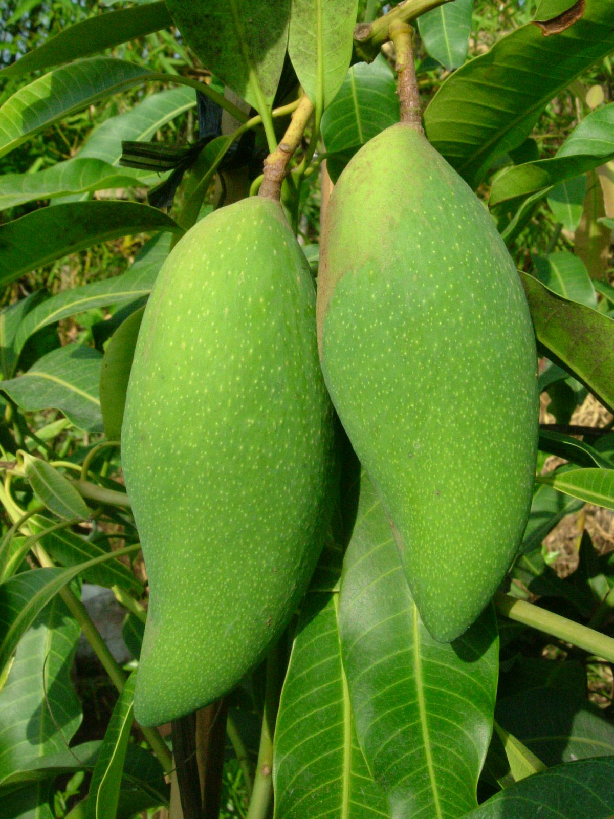 Jenis varietas buah mangga  Fachris Blog