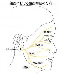 顔面における顔面神経の分布