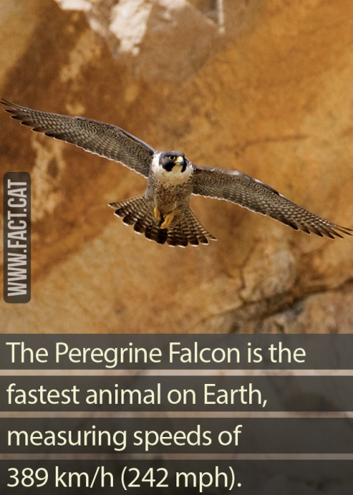 What is the fastest animal on Earth