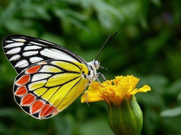 तितली के बारे में 30 रोचक जानकारी – About Butterfly in Hindi